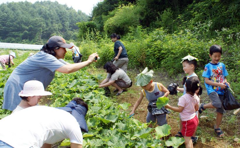 07. 곰취수확 체험