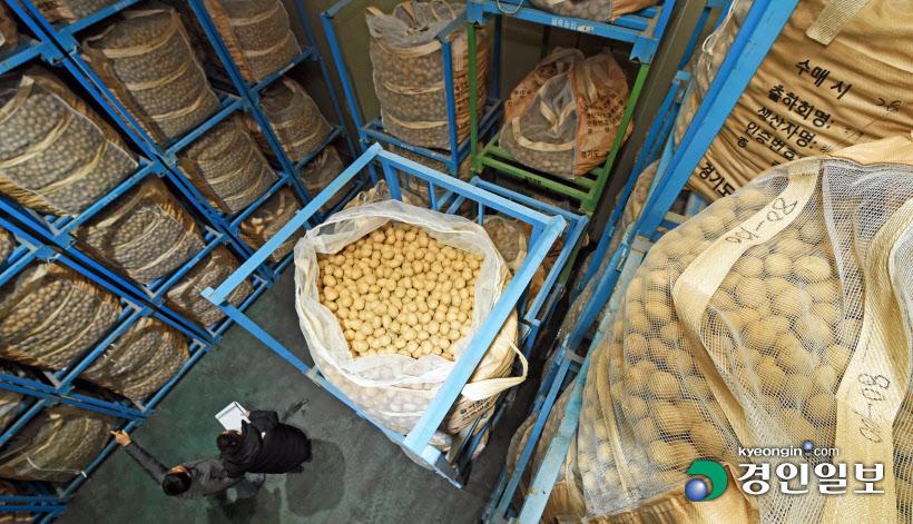 농협 창고에 수북이 쌓인 감자