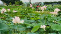 [경기만 따라 걷는 에코여행·(1)시흥 관곡지 & 연꽃테마파크]옛 모습 간직한 초록빛 연못… 연꽃이 안내하는 황토 카펫