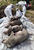 [경인포토] 아프리카돼지열병 확산 방지, 야생 멧돼지 포획 시료채취