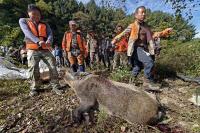 [경인포토] 아프리카돼지열병 확산 방지, 야생 멧돼지 총기포획